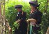 Bà Lý Thị Sai dạy cháu nội cách thu hái cây đay về dệt vải.